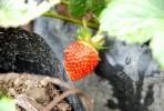Buah strawbery masak