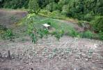 Tanam sayuran sementara pokok getah membesar