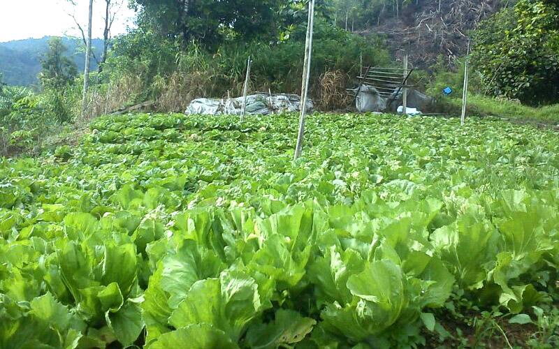 Sayur-sayuran tumbuh subur di Kg Tampasak Liwan, Tambunan